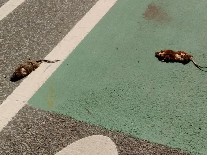 bike-lane-rat-002